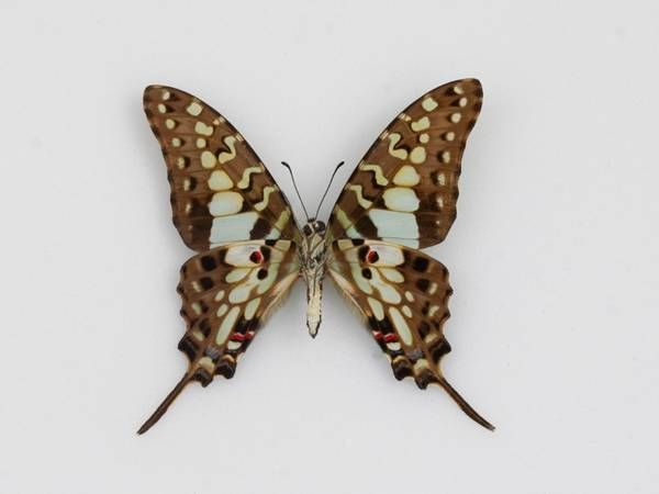 Bilde av Graphium antheus