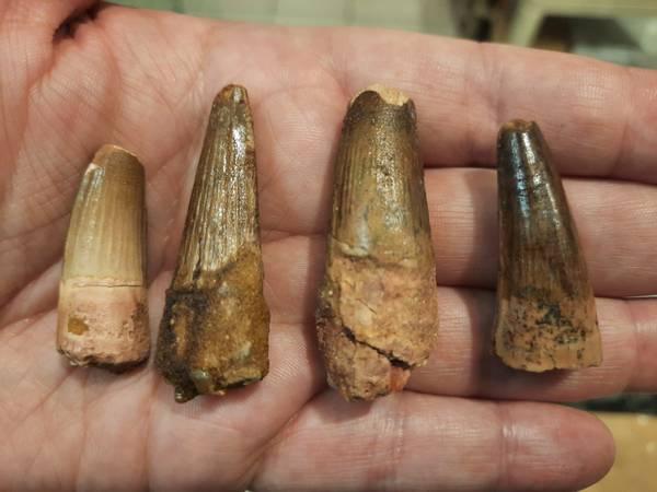 Bilde av Spinosaurustann 3,5 til 4,5 cm
