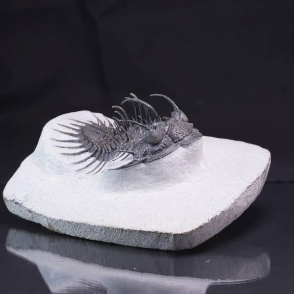Bilde av Trilobitt (Comura bultyncki)