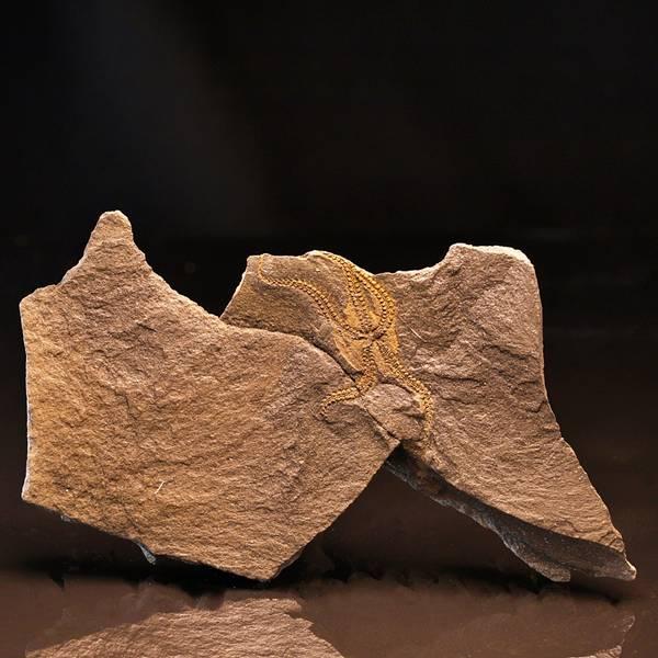 Bilde av Fossil slangestjerne (Lapworthura sp.)
