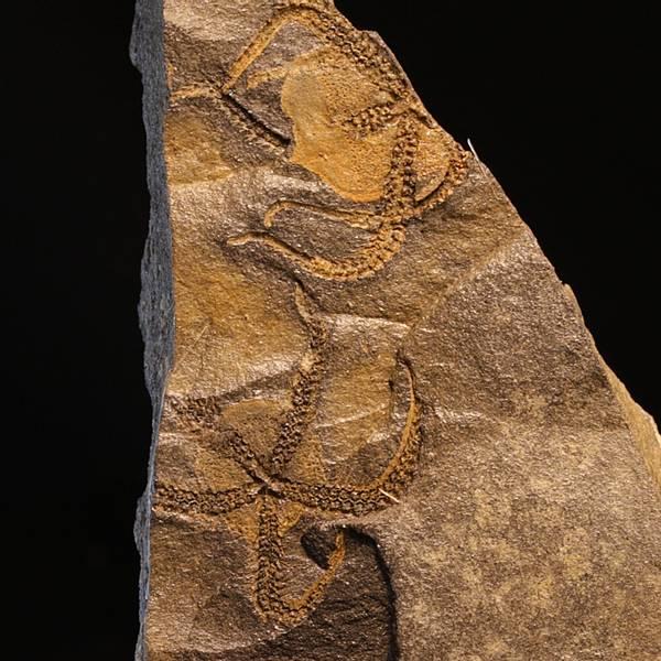 Bilde av Fossile slangestjerner (Lapworthura sp.)
