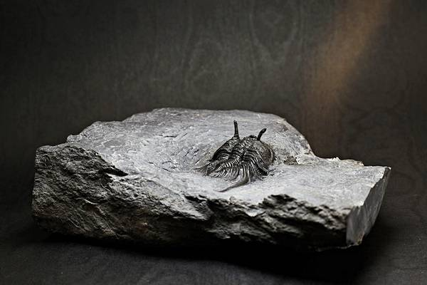 Bilde av Norsk trilobittfossil: Cybele bellatula