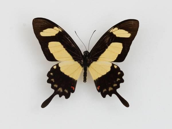 Bilde av Papilio torquatus