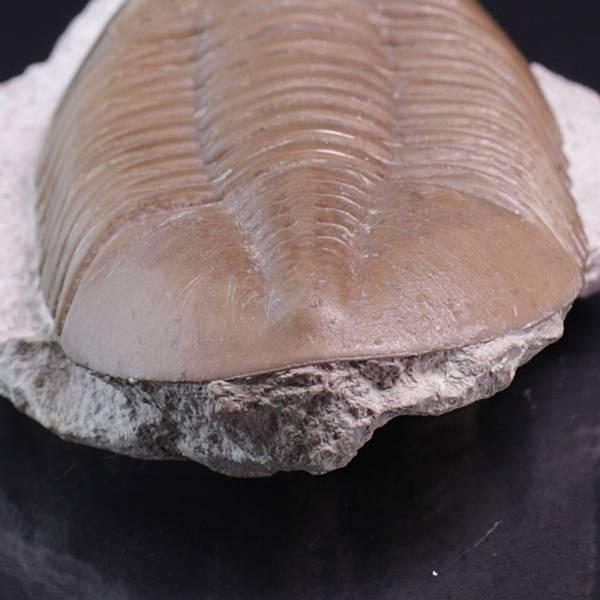 Bilde av Trilobitt (Asaphus lepidurus)