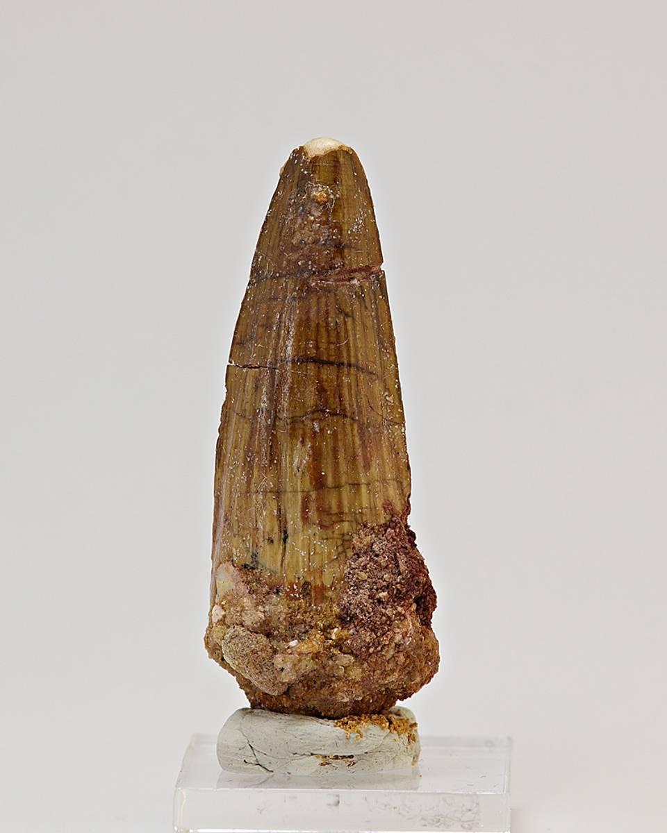 Spinosaurustann 4,5 til 5,5 cm