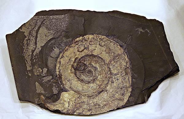 Bilde av Ammonitt-plate (stor Harpoceras), Holzmaden
