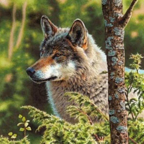 Bilde av Ulvehode (Canis lupus) 2 - kort