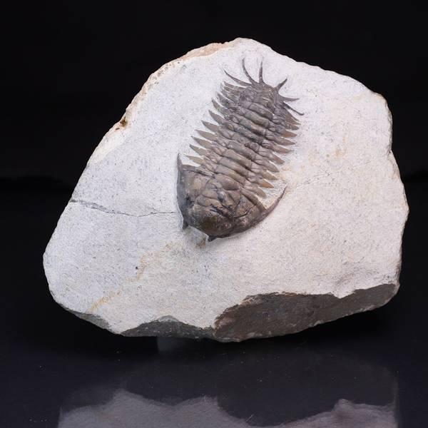 Bilde av  Trilobitt (Cyrtometopus sp)