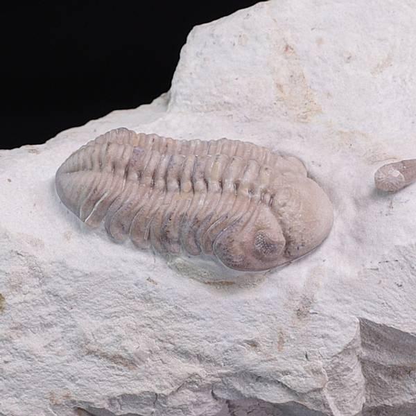 Bilde av Trilobitt (Viaphacops bombifrons)