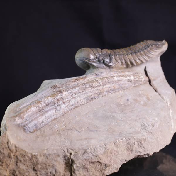 Bilde av Piggpanserhaibrystfinne med trilobitt