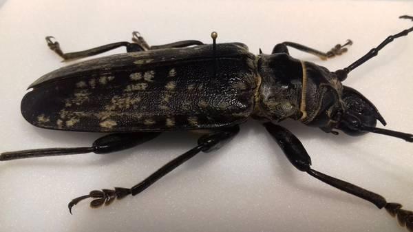 Bilde av Trebukk (Acanthophorus maculatus)