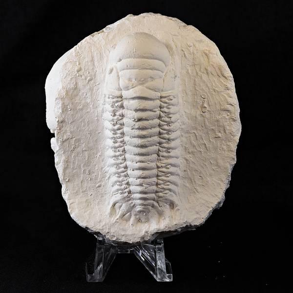 Bilde av Trilobitt i gips: Crotalocephalus