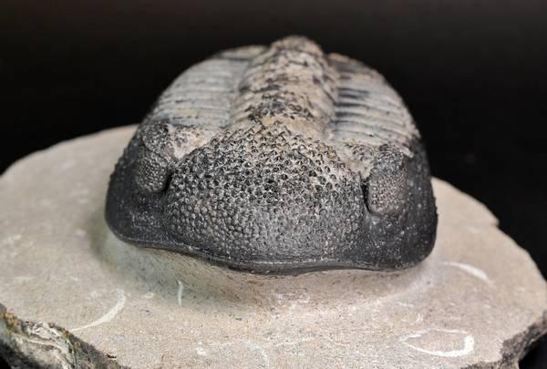 Bilde av Trilobitt (Drotops megalomanicus)