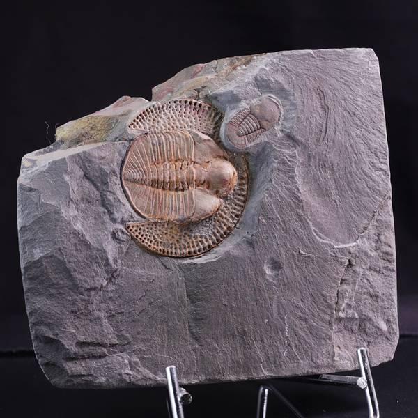 Bilde av Trilobitter (Declivolithus titan og Cyclopyge sibilla)