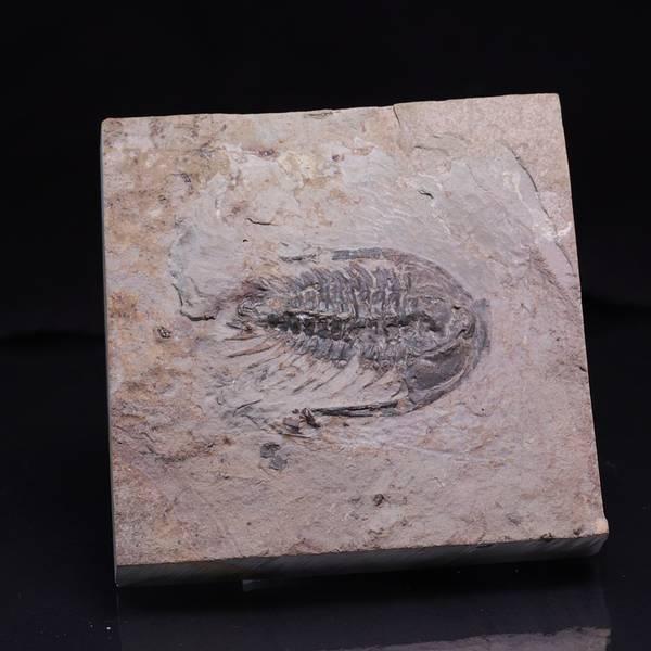Bilde av Trilobitt (Zacanthoides typicalis)