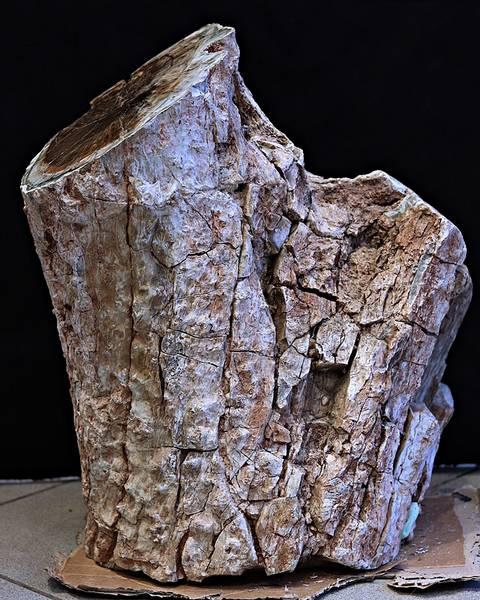 Bilde av Diger fossil trestubbe fra Zimbabwe
