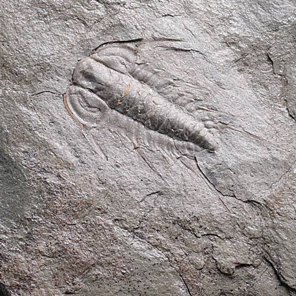 Bilde av Trilobitt (Albertella helena)