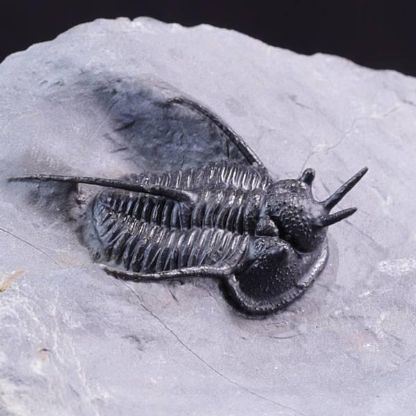 Bilde av Trilobitt (