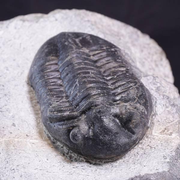 Bilde av Norsk trilobittfossil: Asaphus expansus