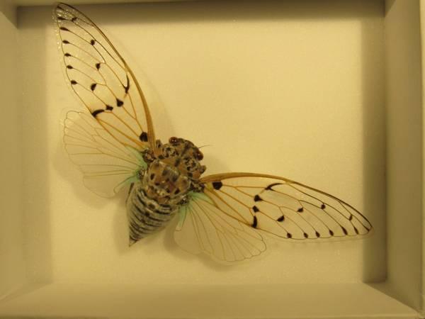 Bilde av Sangsikade (Ayuthia spectabilis)