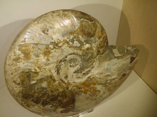 Bilde av Cleoniceras sp.