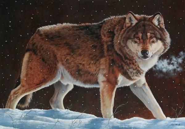Bilde av Gående ulv (Canis lupus) - kort