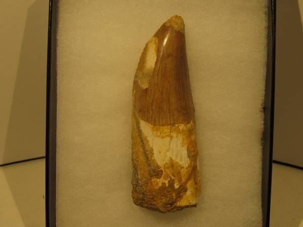 Bilde av Tann av Carcharodontosaurus saharicus med rot