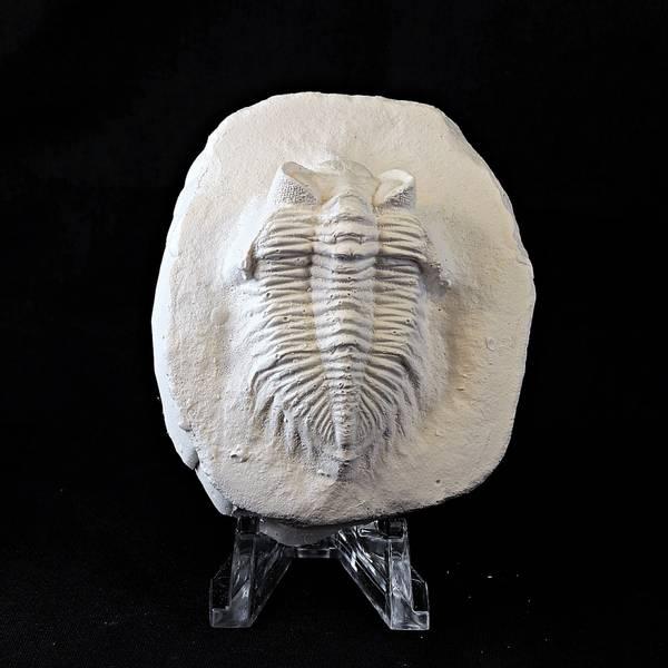 Bilde av Trilobitt i gips: Coltraneia oufatensis