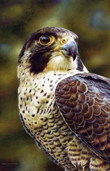 Bilde av Vandrefalk (Falco peregrinus) - kort