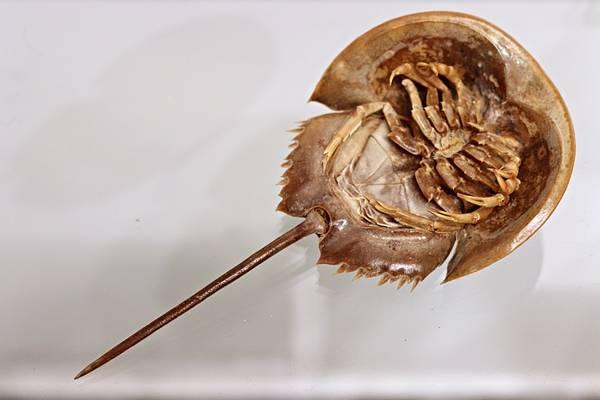Bilde av Dolkhale (Carcinoscorpius rotundicauda)