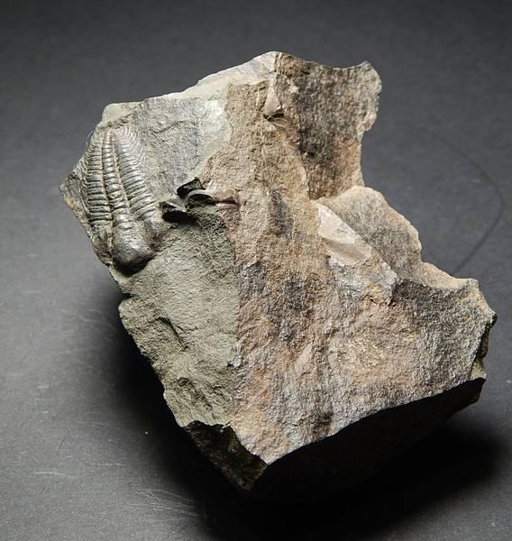 Bilde av  Trilobitt (Hydrocephalus minor)