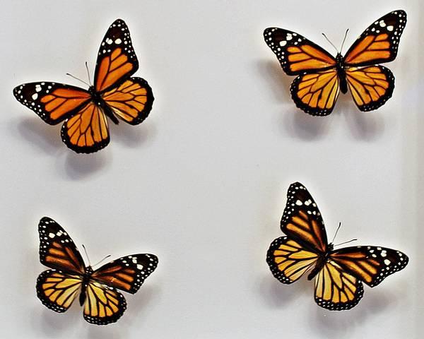 Bilde av Monark (Danaus plexippus), montasje i ramme