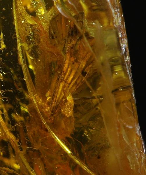 Bilde av Baltisk rav med sikade (Auchenorrhyncha sp.)
