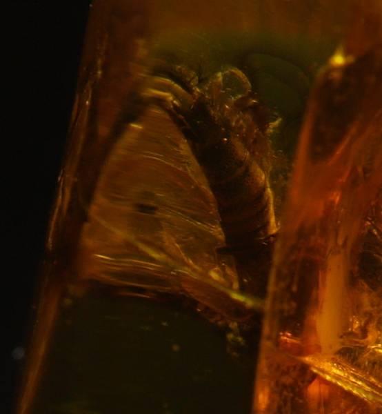 Bilde av Baltisk rav med kortvingebille (Staphylinidae)