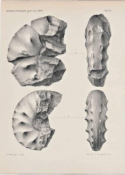 Bilde av Antikt trykk: Ammonitter, trykk fra 1898