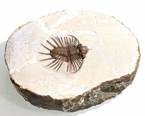Bilde av Acanthopyge sp.