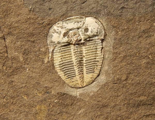 Bilde av  Trilobitt (Aulacopleura konincki)