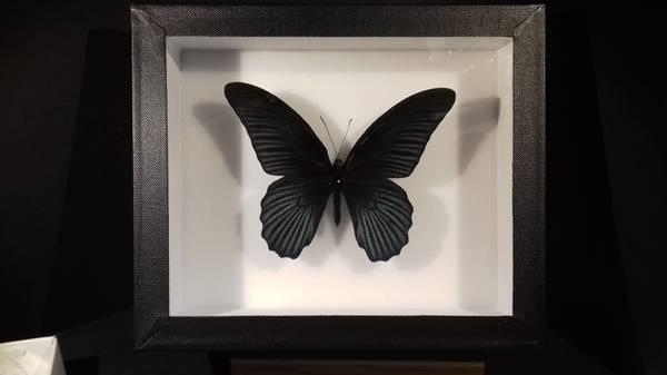 Bilde av Papilio memnon
