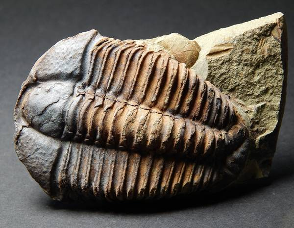Bilde av  Trilobitt (Conocoryphe cirina)