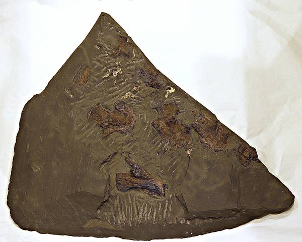 Bilde av Steneosaurus bollensis, knokler