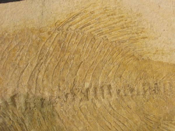 Bilde av Phareodus sp.