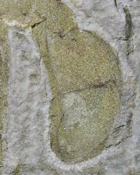 Bilde av Sjøskorpion (Eurypterus remipes)