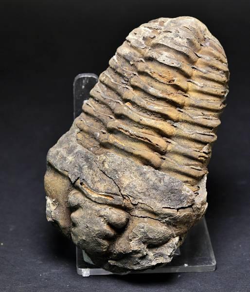 Bilde av Trilobitt (Neseuretus tristani)