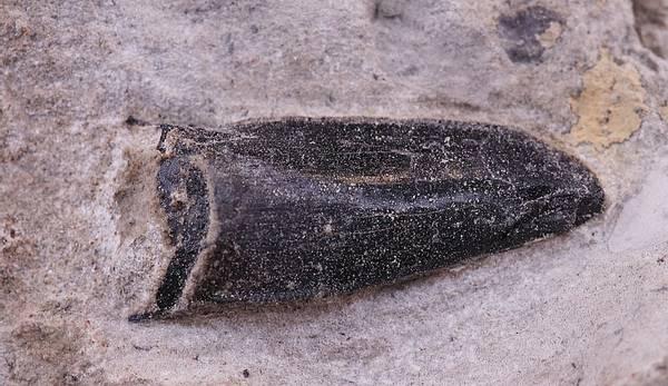 Bilde av Allosaurus-tann i matriks