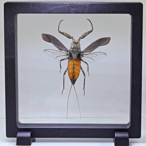 Bilde av Vannskorpion (Nepidae sp.)
