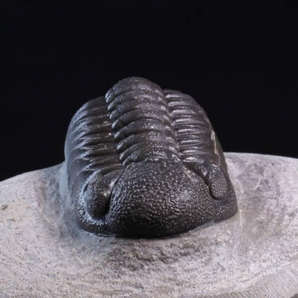 Bilde av Trilobitt (Morocops forteyi)