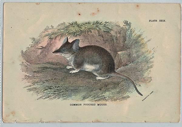 Bilde av Antikt trykk: Pungmus (Sminthopsis murina)