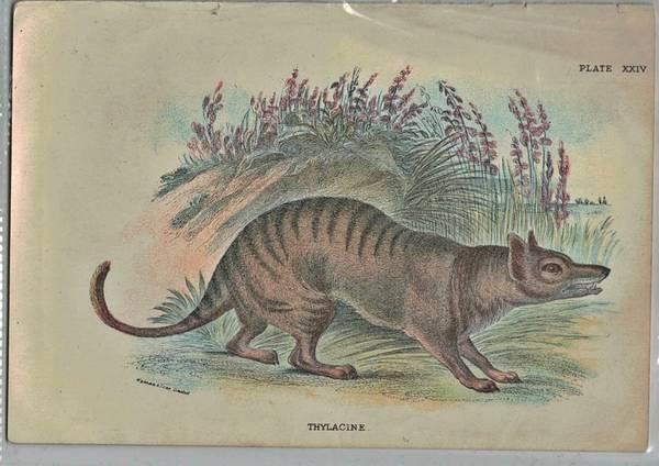 Bilde av Antikt trykk: Pungulv (Thylacinus cynocephalus)