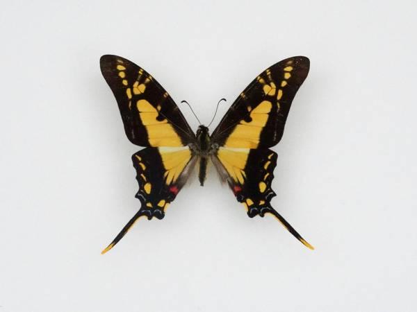 Bilde av Eurytides thyastes