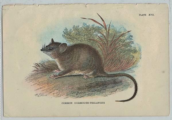 Bilde av Antikt trykk: Østlig pygmepungrotte (Cercartetus nanus unicolor)